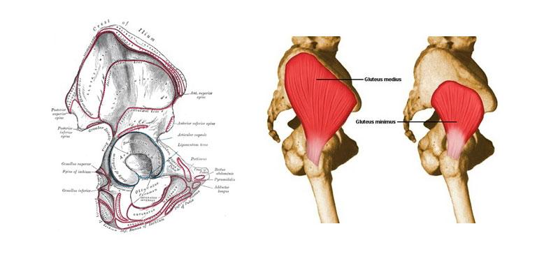 anatomija-i-funkcionalnost-gluteusamediusa